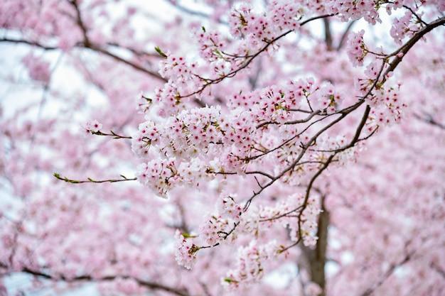Цветущая сакура вишни