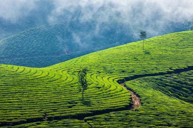 Плантации зеленого чая в муннаре, керала, индия