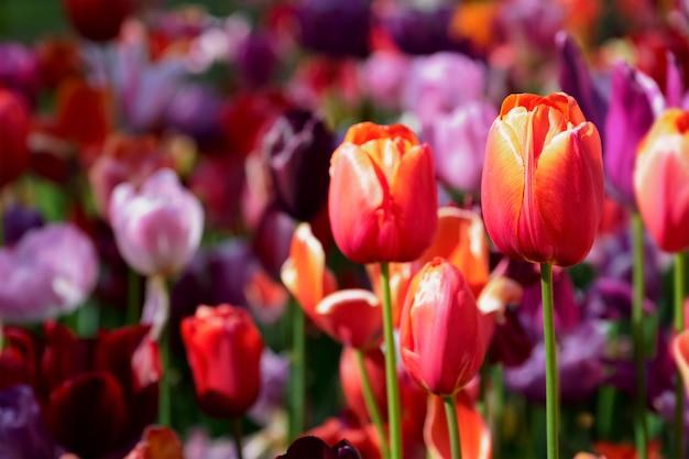 オランダ、キューケンホフ花壇に咲くチューリップの花壇
