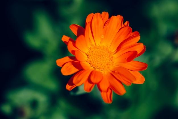 Летняя стена с растущим цветком календулы, календулы