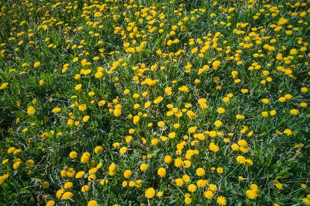 多くのタンポポの牧草地、明るく晴れた日