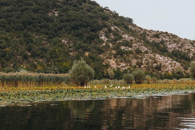 モンテネグロのスカダル湖国立公園の野鳥