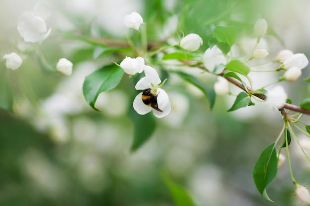 白い花の花粉を集めるバンブルビーをクローズアップ