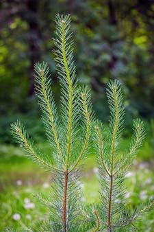 緑のぼやけたテーブルに新鮮な針葉樹の芽