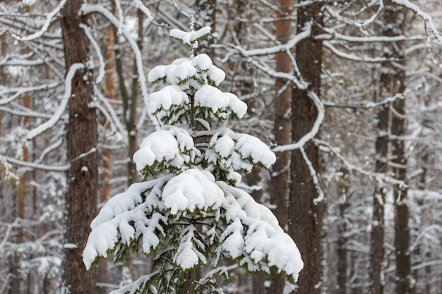 雪、冬の森のシーンで覆われたトウヒの木