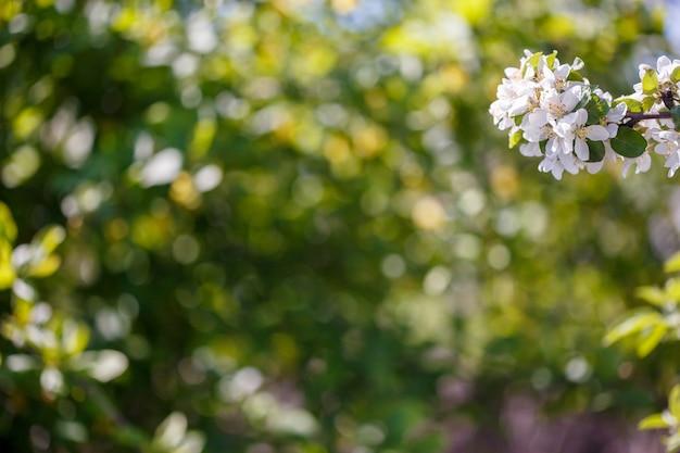白い花と春のリンゴの木の枝