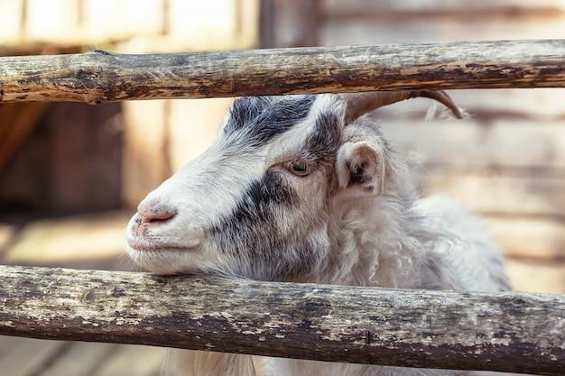 Портрет домашней козы на ферме