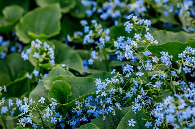 Синие цветы незабудки в саду