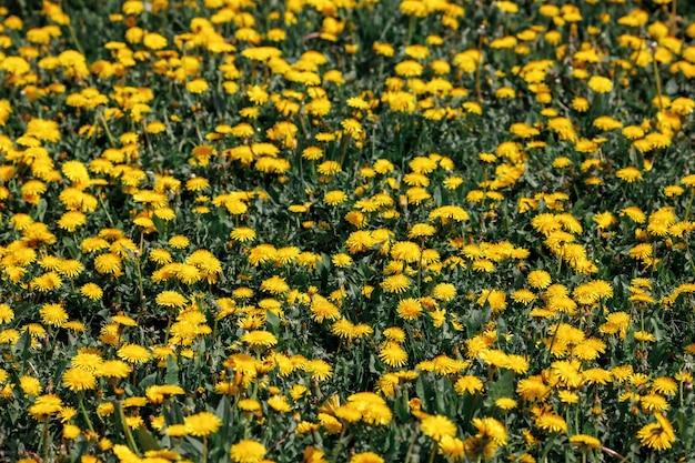 明るく晴れた日にタンポポと春の牧草地