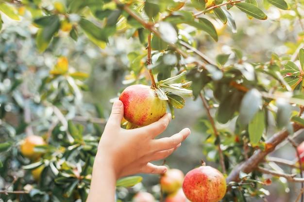 Плод граната в руках ребенка