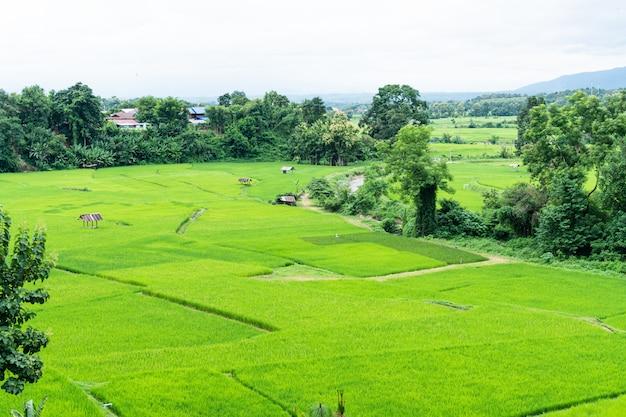 タイ、ナンの緑の棚田。