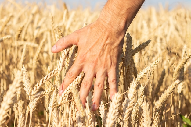 男性の手は、フィールド上の小麦や大麦の耳に触れます。豊作のコンセプト、シリアル、天然物。