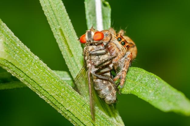 Прыгающий паук с мухой на кусте