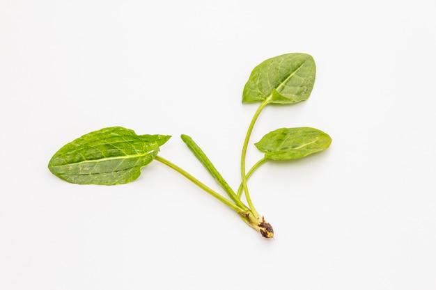 白い背景上に分離されて新鮮な緑のスイバ