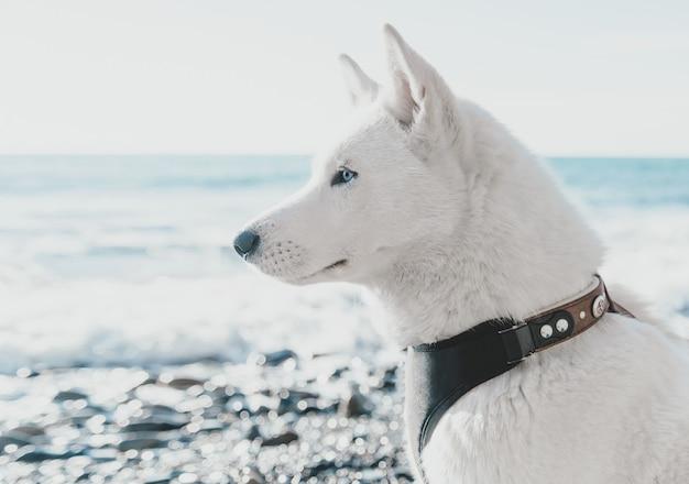 海岸の上を歩くハスキー犬