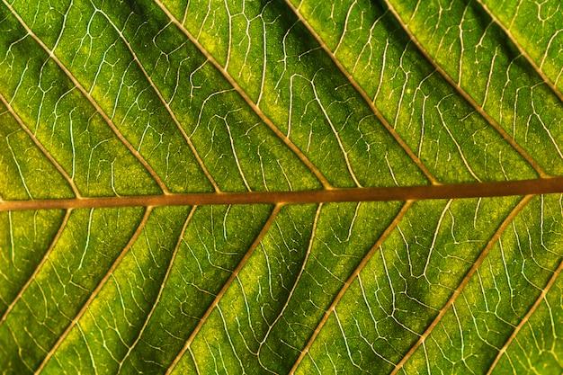 Крупный план лист гуавы. фоновая текстура