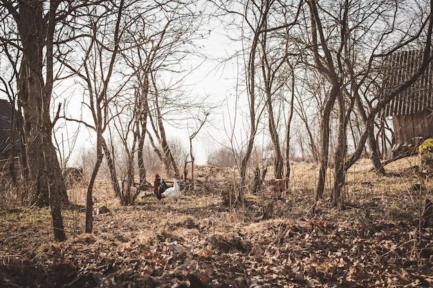 秋の木々の背景に鶏