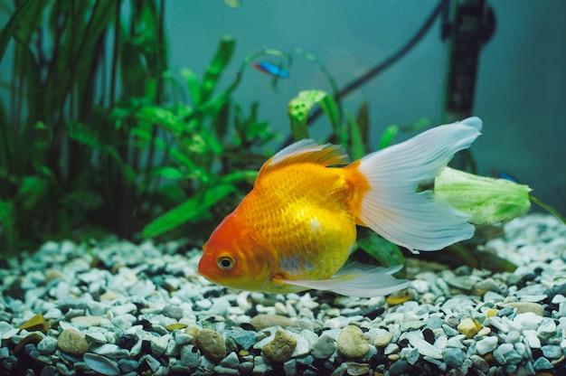 Аквариумные рыбки - золотая рыбка