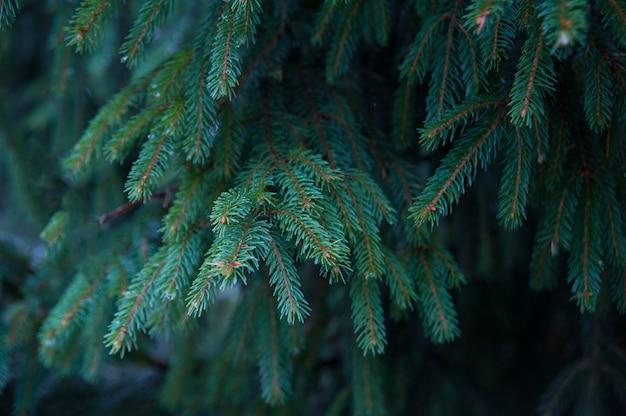 クリスマスカードの毛皮のような木を枝します。冬