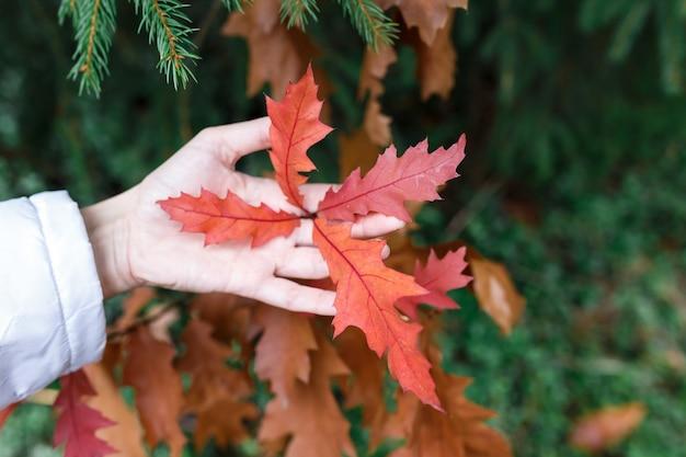 Человек держит замечательные красные листья дерева в руке посреди леса