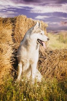 農村部の干し草の山で犬の肖像画。青い目をしたシベリアンハスキー。
