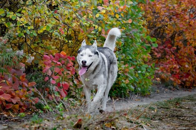 明るく黄色い秋の森を走るトンクとぶら下がっているかわいい、幸せな犬のシベリアンハスキーの肖像画。黄金の秋の森でかわいいグレーと白のハスキー犬