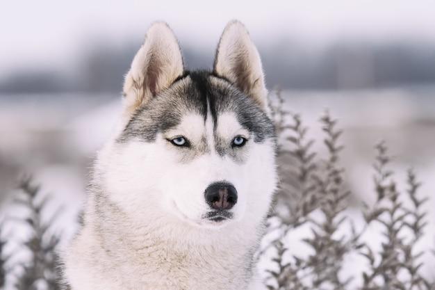 Сибирский хаски в горах зимой. портрет крупным планом