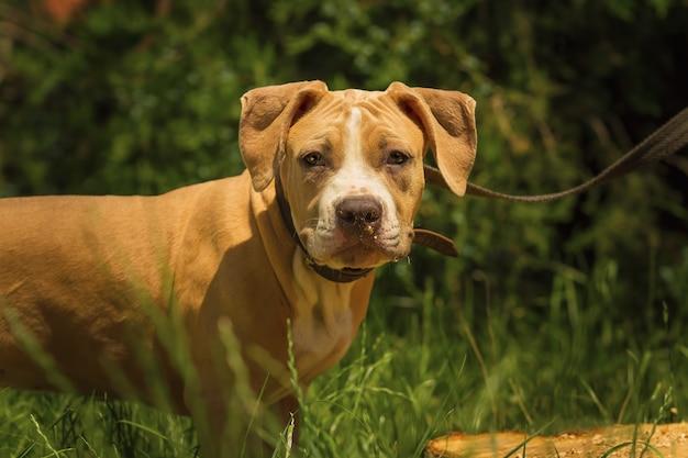 Портрет щенка питбулла