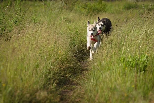 フィールドの芝生で遊ぶシベリアンハスキー。子犬とその両親。閉じる。アクティブな犬のゲーム。北そり犬の品種。