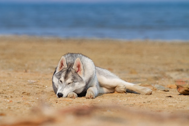 ビーチで犬。海の近くの晴れた日を楽しんでいるシベリアンハスキー。