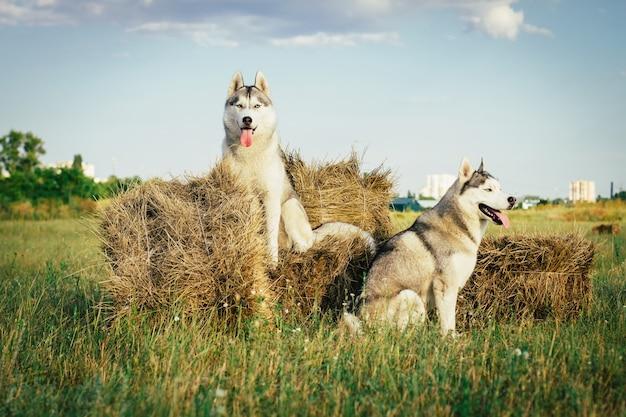 Портрет собаки на фоне стога сена в сельской местности. сибирский хаски с голубыми глазами.