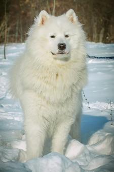 Белая собака самоеда на снегу в зимний день. породы северных ездовых собак.