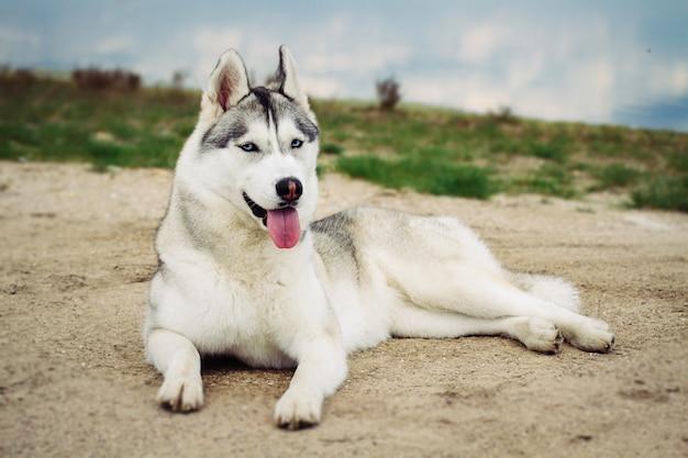 Собака. портрет сибирской хаски. собака на берегу реки. пейзаж