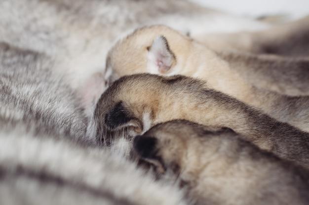 Новорожденные щенки сибирской хаски. питается материнским молоком.