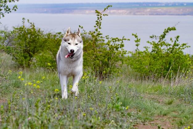 Хаски бежит по траве. крупный план. собака гуляет на природе. сибирский хаски бежит к камере. активные прогулки с собакой.