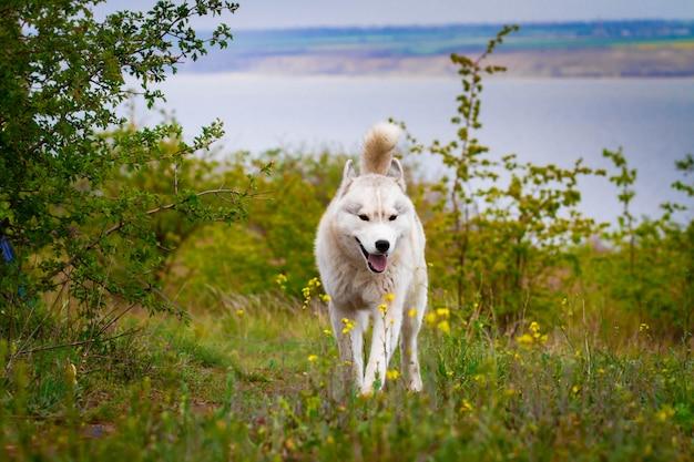 Красивая сибирская лайка бежит по траве