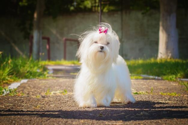 Мальтийская собака гуляет на улице