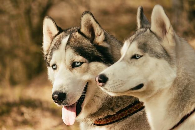 ミュッシング。レース後休んでいる犬。シベリアンハスキー。