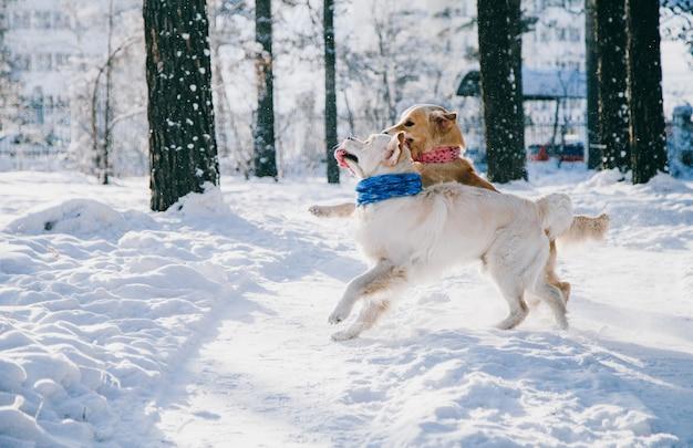 Портрет собаки на открытом воздухе зимой. два молодых золотистых ретривера играют в снегу в парке. игрушки буксира