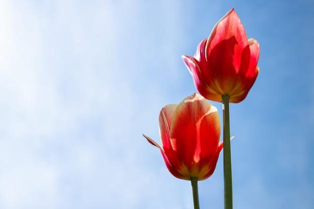 Красные оранжевые тюльпаны на солнечном голубом небе