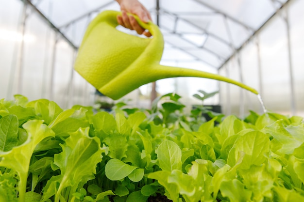 Женщина поливает молодой салат из лейки в теплице