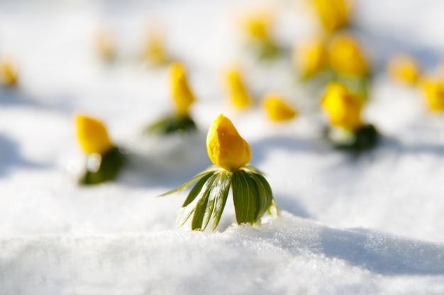 咲く黄色い花サクラソウが雪の中から現れた