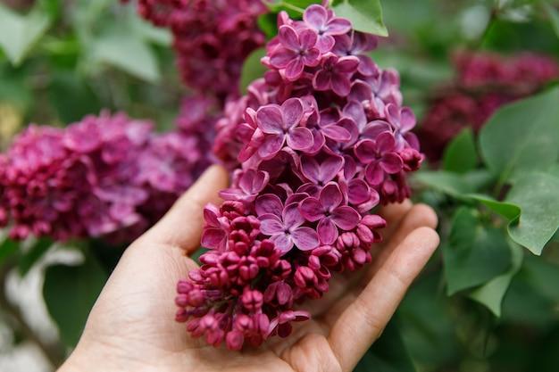 手のひらに美しい紫/紫のライラックの束