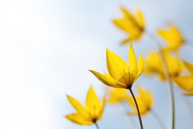 草原の花、ソフトフォーカスのチューリップシチカシルベストリスの野生の黄色い春の珍しい花