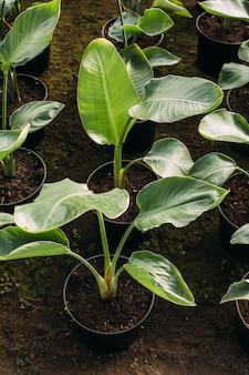 Садоводство, посадка и концепция флоры - крупным планом растений в горшках в теплице
