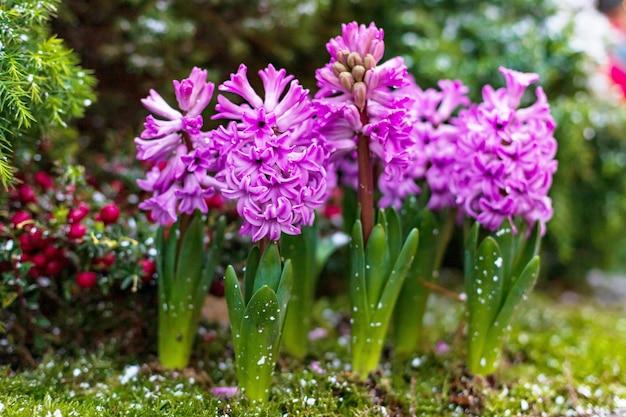 庭のピンクのヒヤシンスの花壇
