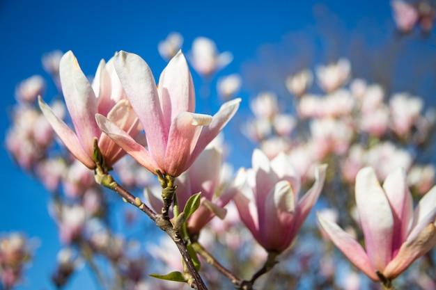 春の庭:日光の下で美しいピンクのマグノリアの花