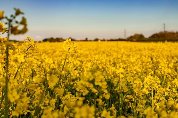 Желтое поле рапса вечером