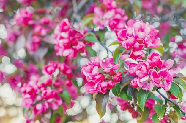 Розовый рай яблони в саду, мягкий фокус