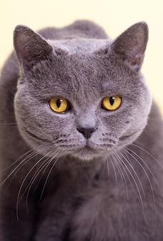 明るい背景に灰色のイギリスの猫、カメラを見て、クローズアップ、ミーム